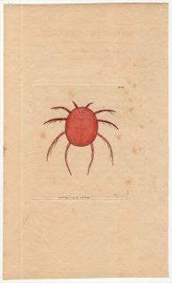 1799年 Shaw & Nodder Naturalist's Miscellany No.400 オオミズダニ科 オオミズダニ属 HYDRACHNA COCCINEA