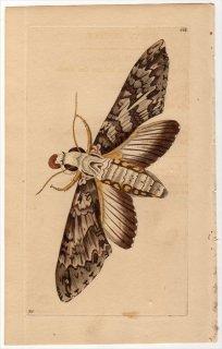 1802年 Shaw & Nodder Naturalist's Miscellany No.566 スズメガ科 コキチウス属 SPHINX ANNONAE