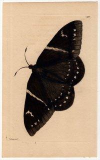1802年 Shaw & Nodder Naturalist's Miscellany No.574 カストニアガ科 エウパラミデス属 PAPILIO CYPARISSIAS