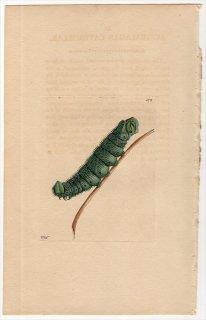 1802年 Shaw & Nodder Naturalist's Miscellany No.578 スズメガ科 LARVA AUSTRALASIAE 幼虫