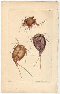 1799年 Shaw & Nodder Naturalist's Miscellany No.368 カブトエビ科 レピヅルス属 MONOCULUS APUS