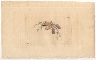 1809年 Shaw & Nodder Naturalist's Miscellany No.904 ケンミジンコ科 ケンミジンコ属 MONOCULUS QUADRICORNIS