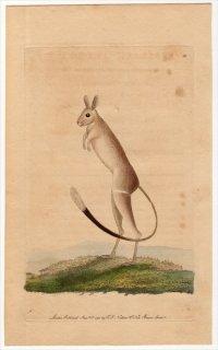 1790年 Shaw & Nodder Naturalist's Miscellany No.38 トビネズミ科 イツユビトビネズミ属 イツユビトビネズミ MUS SALIENS