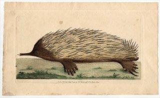 1792年 Shaw & Nodder Naturalist's Miscellany No.109 ハリモグラ科 ハリモグラ属 ハリモグラ MYRMECOPHAGA ACULEATA