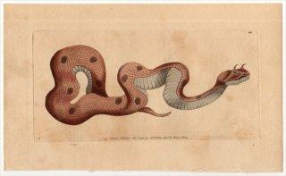 1792年 Shaw & Nodder Naturalist's Miscellany No.122 クサリヘビ科 ツノクサリヘビ属 ツノクサリヘビ COLUBER CERASTES