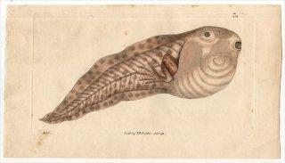 1798年 Shaw & Nodder Naturalist's Miscellany No.350 アマガエル科 アベコベガエル属 アベコベガエル RANA PARADOXA 幼生 オタマジャクシ