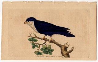 1789年 Shaw & Nodder Naturalist's Miscellany No.7 インコ科 ムスメインコ属 ノドジロルリインコ PSITTACUS PORPHYRIO