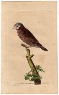 1791年 Shaw & Nodder Naturalist's Miscellany No.56 カエデチョウ科 イッコウチョウ属 イッコウチョウ LOXIA JUGULARIS