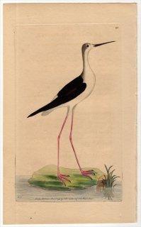 1794年 Shaw & Nodder Naturalist's Miscellany No.195 セイタカシギ科 セイタカシギ属 セイタカシギ CHARADRIUS HIMANTOPUS