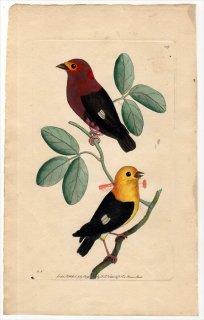 1796年 Shaw & Nodder Naturalist's Miscellany No.249 マイコドリ科 マイコドリ属 アカクロマイコドリ PIPRA AUREOLA