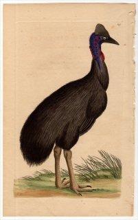 1796年 Shaw & Nodder Naturalist's Miscellany No.297 ヒクイドリ科 エミュー属 エミュー CASUARIUS GALEATUS