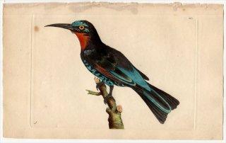 1797年 Shaw & Nodder Naturalist's Miscellany No.337 ハチクイ科 ハチクイ属 クロハチクイ MEROPS GULARIS