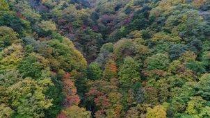 山梨県 夜叉神峠の紅葉 ゆっくり上へ