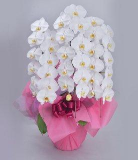 《ハイクラス》ホワイト3本立ち 胡蝶蘭