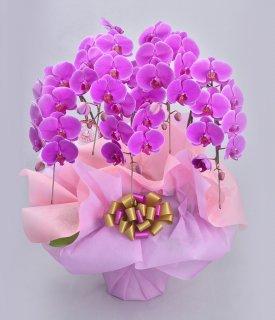《極ノーマル》バブリーピンク5本立ち 胡蝶蘭