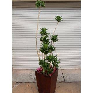 15000円品種おまかせ観葉植物鉢