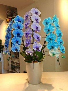 3色ミックス(青・紫・水色)胡蝶蘭