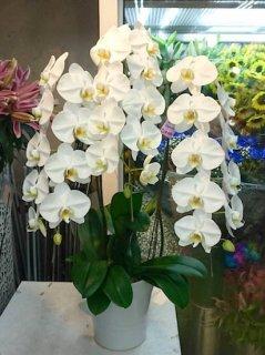 白3本立ち 胡蝶蘭