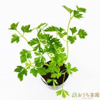 イタリアン パセリ / 苗 / ハーブ 野菜 / 9cm ポット