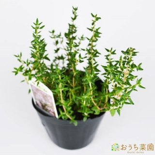 コモンタイム / 苗 / ハーブ 野菜 / 9cm ポット