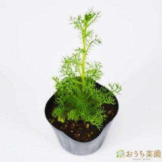 ジャーマン カモミール / 苗 / ハーブ 野菜 / 9cm ポット