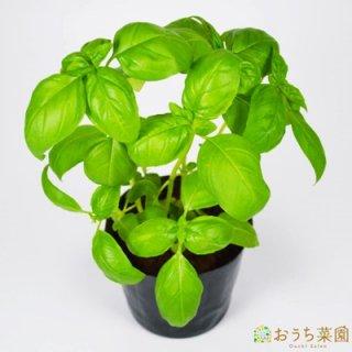 スイート バジル / 苗 / ハーブ 野菜 / 9cm ポット