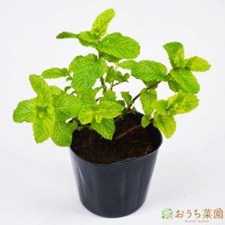 スペア ミント / 苗 / ハーブ 野菜 / 9cm ポット