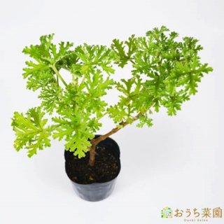 ローズゼラニウム / 苗 / ハーブ 野菜 / 9cm ポット