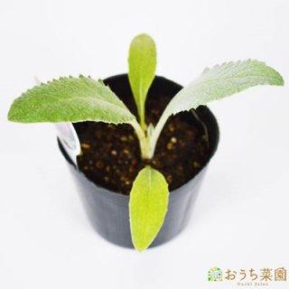 アーティチョーク / 苗 / ハーブ 野菜 / 9cm ポット