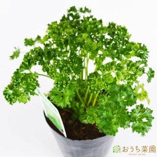パセリ / 苗 / ハーブ 野菜 / 9cm ポット