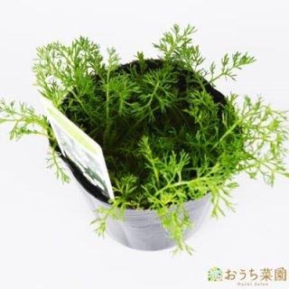 ローマンカモミール / 苗 / ハーブ 野菜 / 9cm ポット