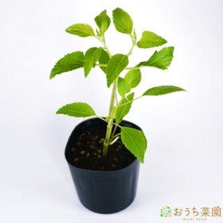 ラベンダーセージ / 苗 / ハーブ 野菜 / 9cm ポット