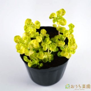 ゴールデン マジョラム / 苗 / ハーブ 野菜 / 9cm ポット