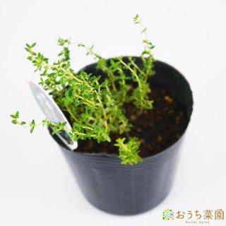 ラベンダータイム / 苗 / ハーブ 野菜 / 9cm ポット