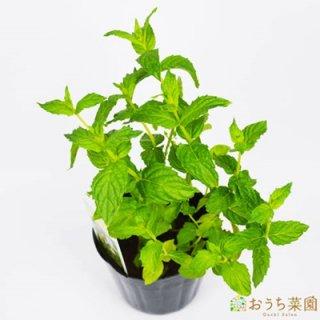 ペパーミント / 苗 / ハーブ 野菜 / 9cm ポット