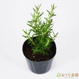 ローズマリー ホワイト 立性 / 苗 / ハーブ 野菜 / 9cm ポット