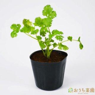 コリアンダー パクチー / 苗 / ハーブ 野菜 / 9cm ポット