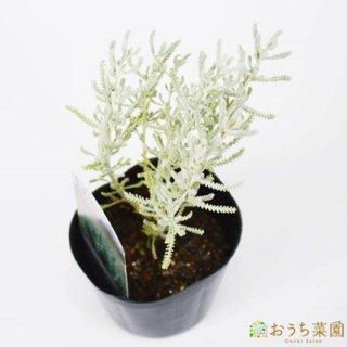 サントリナグレー / 苗 / ハーブ 野菜 / 9cm ポット