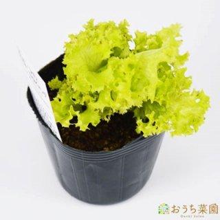 ロロビオンダ レタス / 苗 / ハーブ 野菜 / 9cm ポット
