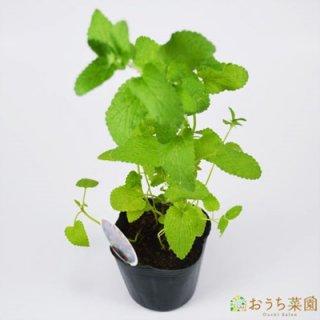 キャット ミント / 苗 / ハーブ 野菜 / 9cm ポット