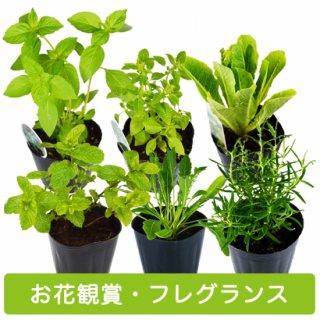 ハーブ 苗 6種 セット / お花 観賞 / フレグランス 用