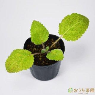 クラリ セージ / 苗 / ハーブ 野菜 / 9cm ポット