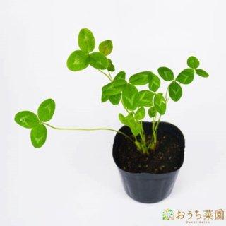 クローバー レッド / 苗 / ハーブ 野菜 / 9cm ポット