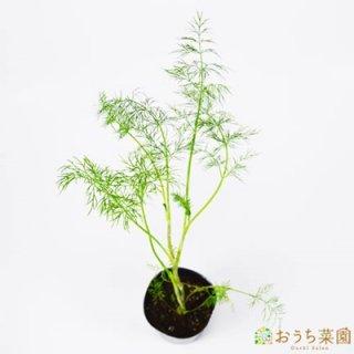 ディル / 苗 / ハーブ 野菜 / 9cm ポット