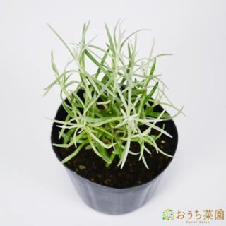 カレー プラント / 苗 / ハーブ 野菜 / 9cm ポット