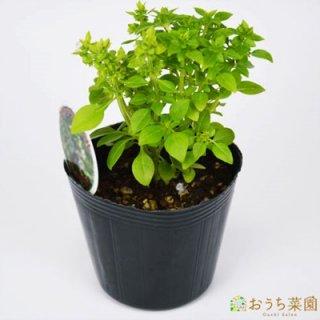 グリークバジル / 苗 / ハーブ 野菜 / 9cm ポット