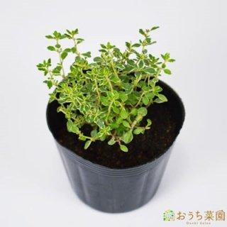 シルバー タイム / 苗 / ハーブ 野菜 / 9cm ポット