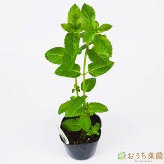 イングリッシュ ミント / 苗 / ハーブ 野菜 / 9cm ポット