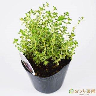 シルバー レモン タイム / 苗 / ハーブ 野菜 / 9cm ポット