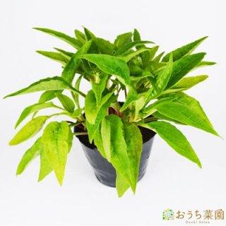 エキナセア / 苗 / ハーブ 野菜 / 9cm ポット